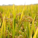 ピロール米の体に影響する効果とは?栽培方法にも注目!