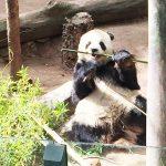 上野動物園のパンダを見るのは超混雑!どこかゆっくりパンダを見れるところはない?