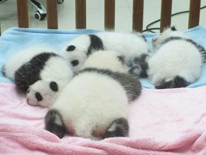 柳州市動物園の赤ちゃんパンダの写真