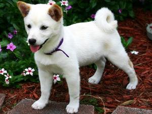 白い子犬の柴犬の写真
