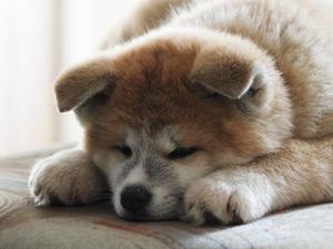 茶色い子犬の秋田犬の写真