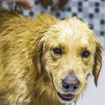 犬がお風呂を嫌がる理由は?犬にもお風呂に気持ちよく入ってもらう方法!