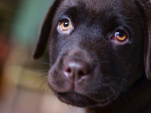 ラブラドール・レトリバーの子犬の写真
