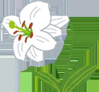 献花に使われる白いユリのイラスト