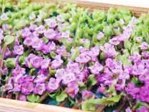 穂紫蘇の写真